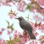 桜といえばヒヨドリって思うのは僕だけでしょうか。