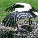 赤ちゃん、涼しくなぁれ コウノトリが翼で日陰を作るんですって