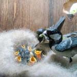 2012年6月「シジュウカラ」 抱卵が始まりました。